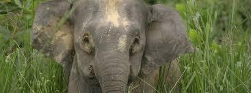 borneo pygmy elephant species wwf