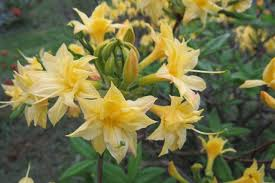 Scented Flowering Shrubs - most fragrant azaleas and rhododendrons