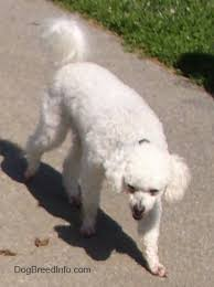 bichon frise dog pictures bichon frise dog breed pictures 3