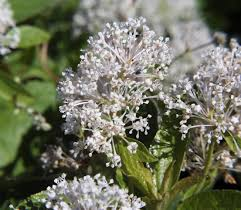 new jersey native plants ceanothus americanus wikipedia