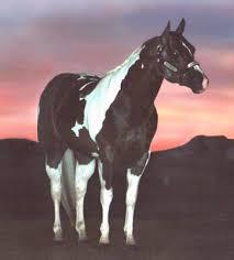 color me a fist superior halter tobiano stallion american