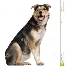 australian shepherd jack russell mix mixed australian shepherd dog 8 months old stock image image