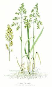 native american plants 53 best wekuskwa images on pinterest native americans native