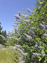 rocky mountain native plants native plant report wild lilac ceanothus mountain soap
