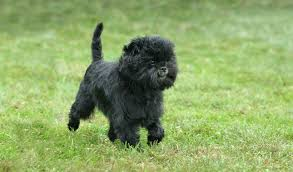 affenpinscher long hair affenpinscher breed information