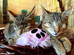Blind Cat Sanctuary Two Rescue Pit Bulls Have Become Guide Dogs For Three Blind Cats