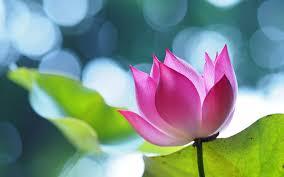 Flower Wallpaper Pink Lotus Flower Wallpaper For Desktop Laptop And Mobile