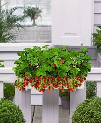 Fragrant Patio Plants Buy Patio Planter With 8 Strawberry Plants Bakker Com