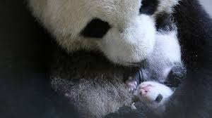 bored at home create your own zoo it takes a village how canada got its first native born pandas