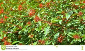 firebush or hummingbird bush hamelia patens stock video video