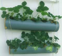 Strawberry Plant Diseases - growing strawberries in gutters diy idea