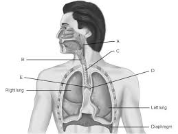 Anatomy And Physiology Chapter 9 Quiz Chapter 22 The Respiratory System Chapter 22 Exam Human Anatomy
