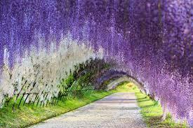flower places wisteria flower tunnel japan travel destinations
