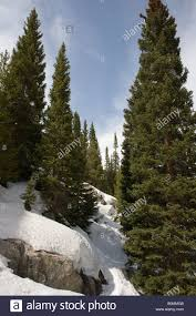 evergreen trees grow among snow covered boulders just below 11400