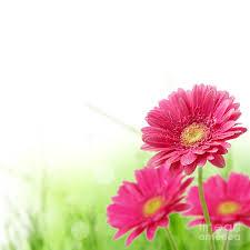 file purple pansy spring flowers west virginia forestwander