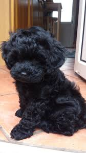 ideas about shih poo teddy bear puppies cute backgrounds with