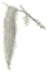 spanish moss clipart clip art library