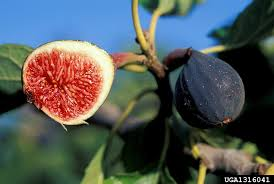 Fig Flower - ficus carica common fig go botany