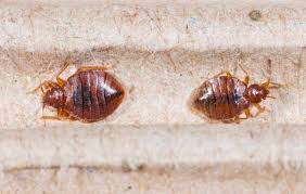 Killing Bed Bugs In Clothes Will Bed Bugs Stay In Clothes Bed Bug Pest