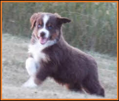 8 week australian shepherd mini aussie pup for sale 2014 litter 5 callie pup 4 blue eyed