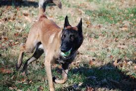 belgian shepherd malinois temperament extreme extra temperament u2013 working dog
