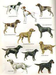 types of setter dog breeds pointer natural history