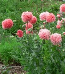 visit my garden annual poppies