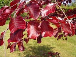 native hedging plants uk 100 copper purple beech hedging 40 60cm beautiful strong 2yr old