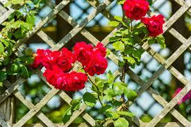 Fragrant Climbing Plants - using climbing plants in your garden merrifield garden center