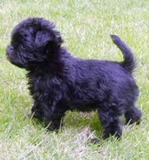 affenpinscher qualities affenpinscher breed information and pictures united canine