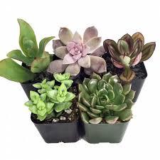 hirts house plant succulent terrarium u0026 fairy garden plants 5