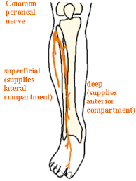 High Ankle Sprain Anatomy The Ankle Paradox T Nation