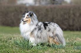 australian shepherd vs brittany 30 most talented dog breeds in the world
