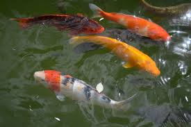 using watercolours started painting koi fish and putting colours of the pond