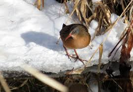 bird sightings sacajawea audubon