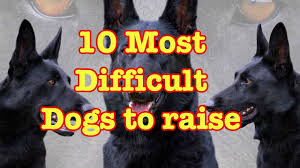 belgian shepherd exercise requirements top 10 most difficult dog breeds to train unknown facts