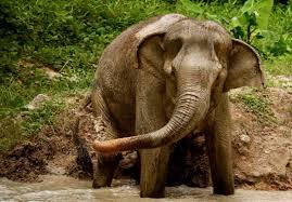 phuket elephant sanctuary home