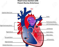 Heart Anatomy And Function Anatomy Heart Images U0026 Stock Pictures Royalty Free Anatomy Heart