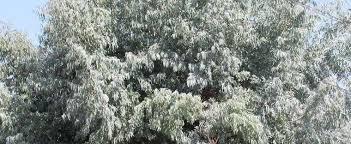 silver drop eucalyptus eucalyptus species silver dollar gum tree argyle apple