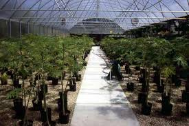 South Texas Botanical Gardens by Plantanswers Plant Answers U003e Papaya Growing In San Antonio By Dr