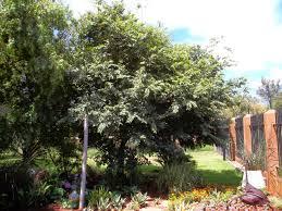 gardening in africa white stinkwood celtis africana