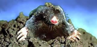 Moles Blind Moles Animals And English
