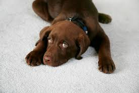 pet stains and odor removal extreme carpet tallahasee