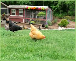Chickens For Backyards by The Chicken Flystrike In Backyard Chickens Causes
