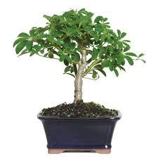 hawaiian umbrella bonsai tree beginner easy care low light