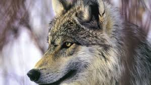 shoots dead 1st grey wolf seen in 70 years