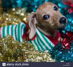 dachshund puppy in sweater surrounded by garland