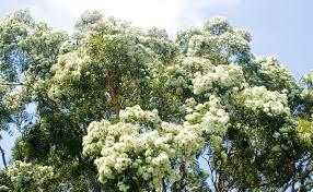 top ten gum trees burke s backyard