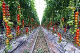 tomatoes on a farm how can i do this at home gardening