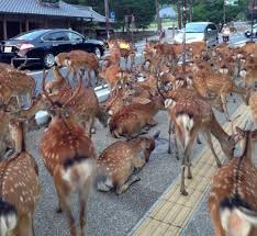 japanese town deer fill the street in a japanese town neatorama